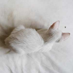 white-cat-bug